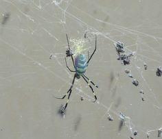 x oo spider