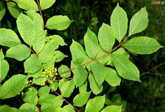 Poison sumac has pinnately compound leaves.