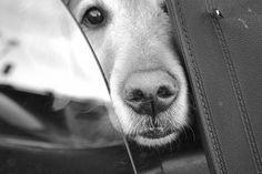 markedlines white photographi, dogs, window, black white photography, doggi, beauti, ador anim, puppi, friend