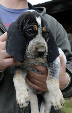 Bluetick Coonhound...