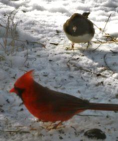 Cardinal & Junco (snow bird)
