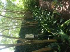 A shady walkway with aspidistra and fig ivy on the wall..