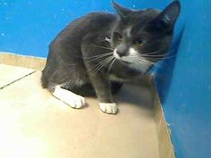 URGENT! ON THE SUN., JUNE 2, 2013 NYCACC EUTHANASIA LIST! 2 year old KATT needs out of NYCACC NOW!!! ***TERRIFIED YOUNG BOY DUMPED DUE TO OWNER'S EVICTION – PLEASE SAVE KATT!!!** TO BE DESTROYED 6/2/13 Brooklyn Center  My name is KATT. My Animal ID # is A0966160. I am a male gray and white gray. The shelter thinks I am about 2 YEARS old.  I came in the shelter as a SEIZED on 05/22/2013 from NY 11692, owner surrender reason stated was OWN EVICT.