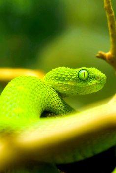 #green #viper #snake #reptile