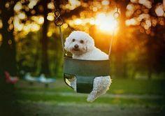 . hammocksswingsand weathervan, dog ador, animals, puppies, dogs, swing dog, bichon frise, memories, poodles