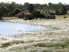 Spiderwebs coat Australian countryside due to floods.