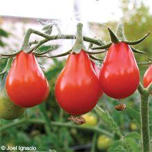 Sage Garden Herbs - Tomato, Red Pear OG