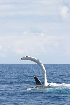 Humpback whale fin (via NOAA)