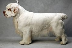 Westminster's Best of Breed - Photographs - NYTimes.com