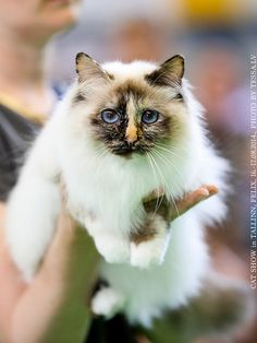 A beauty at the cat show
