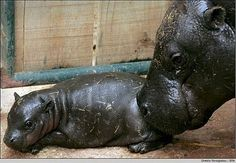 mother, tini hippo