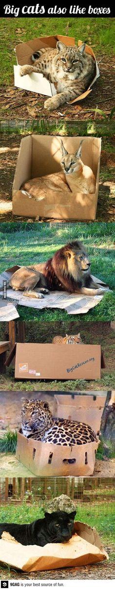 Big cats like boxes too!! if I fits, I sits.