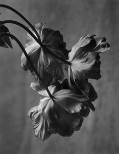 christians, christian coigni, the artist, tulips, flowers