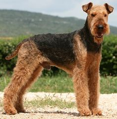 Dear Ross...I want an airedale puppy. Thank you :)