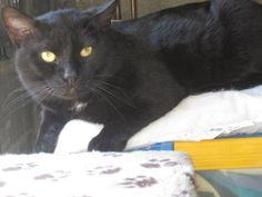 Félix Calme, câlin, ok enfants, chiens et chats. C'est un adulte, il a plus de 3 ans. Ligue de défense des droits des animaux L.D.D.A (Haute-Vienne)