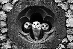 bird, anim, window, owl babies, churches, barns, harry potter, snowy owl, barn owls