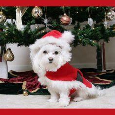 santa dog, christma dog, maltese puppies, christma puppi, christma santa, white christmas, christmaswint anim, christma anim, santa puppi