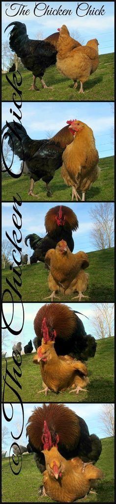 The rooster gets into position, which resembles a piggy-back ride, standing on her back, holding her neck feathers with his beak and steadying himself...