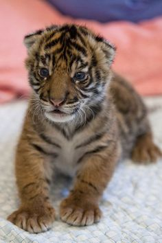 Sumatran tiger cub makes debut at Point Defiance Zoo