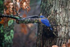 Native American Legend of How the Bluebird got its color http://bit.ly/19FwBgv