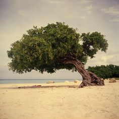 the shade of a beach tree