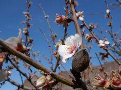 Tejeda. Almendros en flor. Gran Canaria.
