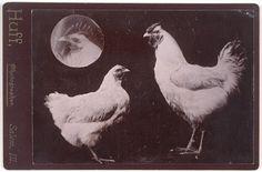 Huff, Untitled [Chickens], n.d.; gelatin silver print, 4 in. x 5 1/2 in. (10.16 cm x 13.97 cm); Collection SFMOMA, Gift of Gordon L. Bennett