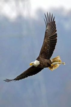 Eagle with dinner