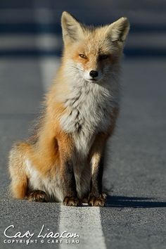 Red Fox at Island Beach State Park, New Jersey