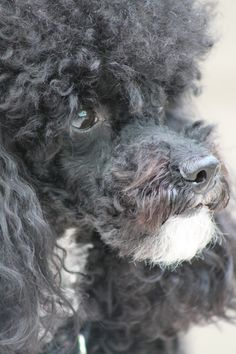 Louie. Poodle with a beard ;-)