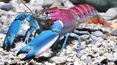 Colorful Crayfish