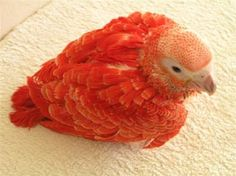Only all red African Grey in the world!  Such a cute little baby
