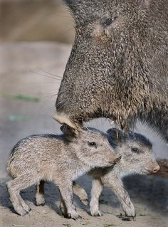 Two Chacoan Peccaries, born at the San Diego Zoo that morning, explore the world under the watchful eye of their mother.