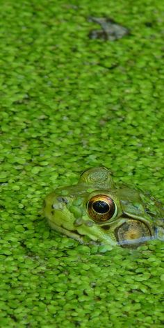 "We know how to ""blend in"". anim, color, froggi, amphibian, verd, frogs, ribbit, green frog, camouflage in nature"