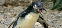 angri penguin