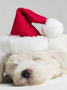 Sleeping Westie Pup::Waiting for Santa