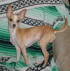 Deer Chihuahua on Pinterest | Deer, Chihuahua Dogs and ...