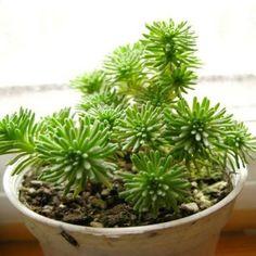 Succulents - Komatsu Green