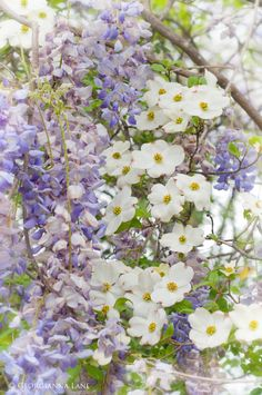 Dogwood and Wisteria