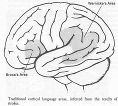 The two most important parts of the brain for speech. Broca's = Speech/language production, Wernicke's = Speech/language reception