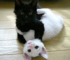 kitty cats, anim, opposites attract, black cats, white cats, black white, ivory, kittens, friend