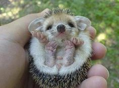 A sweet baby hedgehog. Who can resist?