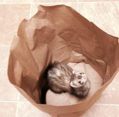 Bag O Weasel ;D  #ferretlove
