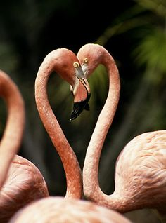 Flamingo heart (by Official San Diego Zoo)