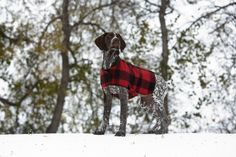 German Shorthaired Pointer in Filson coat.