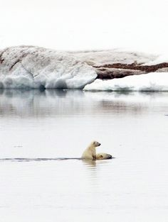 A polar bear cub hitches a piggy-back ride on its mother as they swim through the Arctic Ocean in Svalbard, Norway