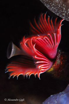 A red tube worm in the sea