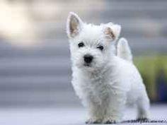 West highland white terrier puppy - love our westie, Brady