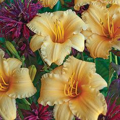 """A wonderful dwarf grower for the garden or containers, it has 3"""" wide richly colored apricot petals. Everblooming, this color mixes easily into any design. 15"""" tall.    One of our most popular perennial flowers, Daylilies originated in China. Through extensive hybridizing their color range is huge and they vary in size from dwarf to large. Many are fragrant and re-blooming. They thrive in full and part sun and grow in most any soil including clay in moist and dry conditions. The dwarf re-bloomer"""