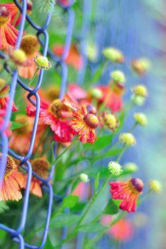 colour, color combos, chains, happy colors, fences, beauti bloom, flowers, blues, flower photographi
